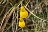 Lady's Slipper (biflora)