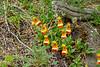 Lady's Slipper (uniflora)