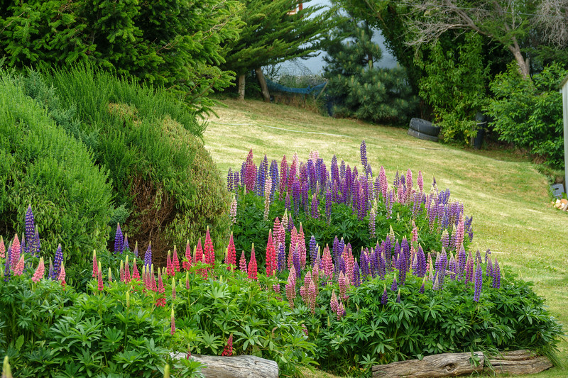 Lupins in the local gardens