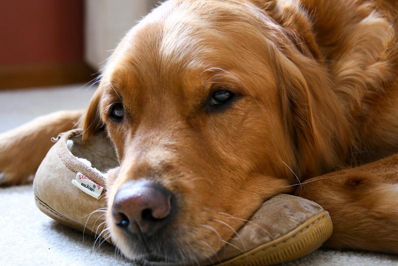 Man's best friend. Sweet golden retriever rests on his master's slipper.