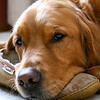 Man's best friend. Sweet golden retriever rests on his master's slipper.