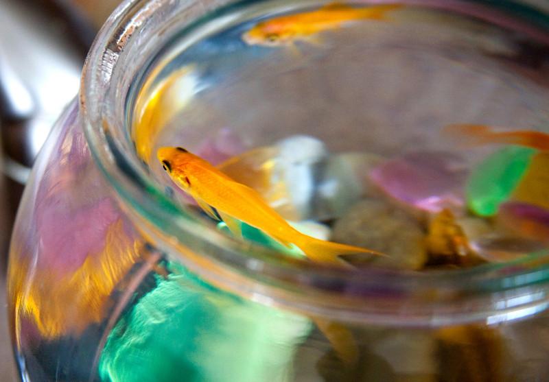 Glub Blub. Goldfish in a bowl.
