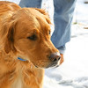 Gorgeous golden retriever out on a winter walk.