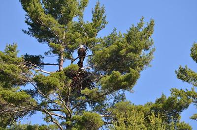 Eagle number 1 near nest.