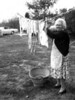 Mildred Cowling hangs laundy out to dry at the old Morton Homestead, Cornell Road, Westport, Ma around 1968. The woman hardly ever rested, her husband and her family were her life.