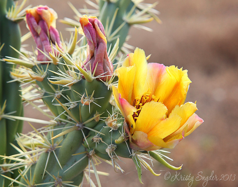 Cactus blooms @ Lake Pleasant AZ
