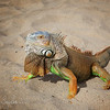 Iguanas on the beach...  the guy who owned them told me the just run around the house like a dog would.. although he said they were not like dogs...  they are like little people with full rights and privileges...  (Not sure I would want this guy running loose in my place...  ha ha)