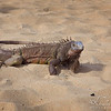 Iguana's brother...  not as colorful but still kind of cool.....