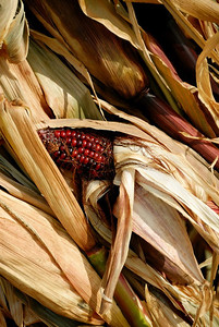 Accent - October - Cornstalks Apple Hill - Placerville