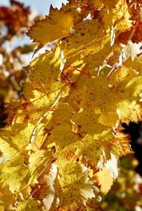 Background - October - Grape leaves Toogood Winery - Fair Play