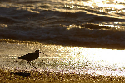March - Shorebird at sunset Moonstone Beach - Cambria