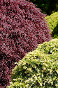Accent - April - Colorful bushes Mendocino Coast Botanical Gardens