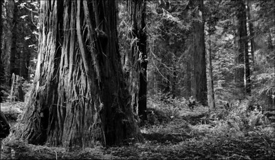 April Accent - Founder's Grove Humboldt Redwoods State Park