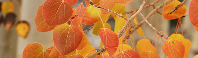 November Accent - Amber Leaves Inyo National Forest