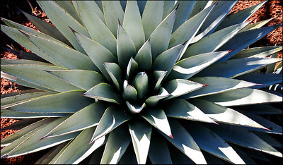 June Accent - Agave Secret Mountain Wilderness Sedona