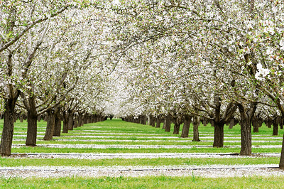 March - Spring Orchards Capay Valley