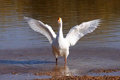 Goose warning us away