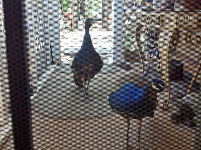 Peacocks at my Grannys