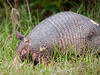 First Armadillo sighting