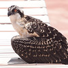 6-14-2016: Osprey that visited the pool. The Bird Sanctuary was called to take care of him.