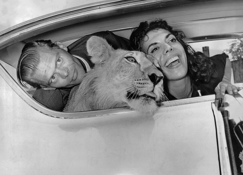 The tiger takes a car ride. 1961
