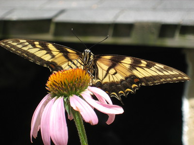 Butterfly & Coneflower
