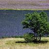 Lavender Field 5770