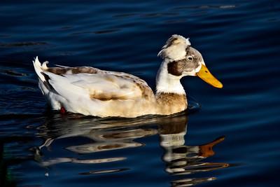 Juvenile Roman Tufted Goose. LRH, Rowlett, TX.