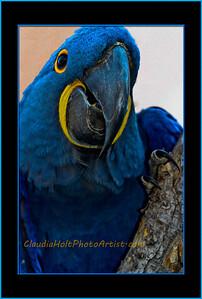 Hyacinth Macaw.