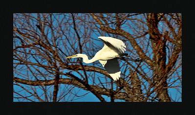 Great Egret. Harry Meyers Park. Rockwall, TX.