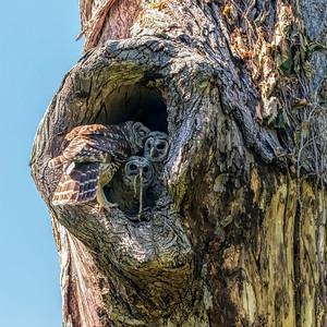 LAST SUPPER-BARRED OWLS