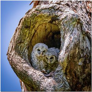 WOA-BABY BARRED OWLS