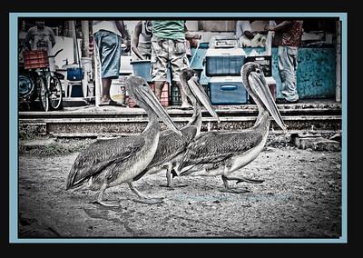 Jiving Pelicans II