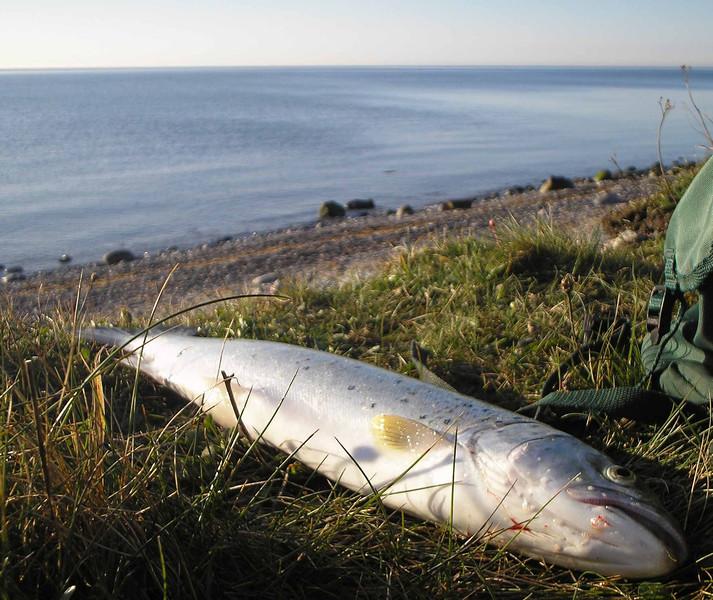 Havørred 58 cm, 1,6 kg. Jernhatten april 2008