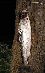 Havørred 67 cm, 3,4 kg. Jernhatten 26. juni 2008