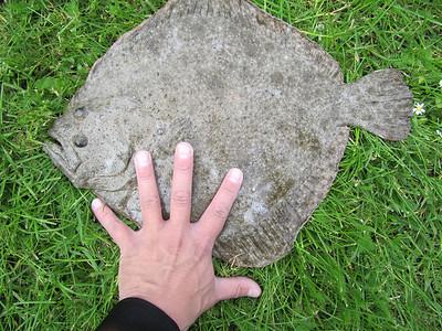 Pighvar 1,4 kg. Djursland juli 2010 (UV).