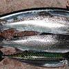Havørred 46,5 cm og 49 cm, 1,3kg og 0,9 kg. Makrel 43 cm, 630 g renset vægt. Juli 2012.