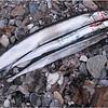 """Denne hornfisk fra maj 2009 blev desværre ikke målt, men den var meget stor... de to andre til sammenligning er af """"almindelig"""" størrelse."""