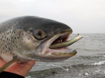 Største fisk 2011