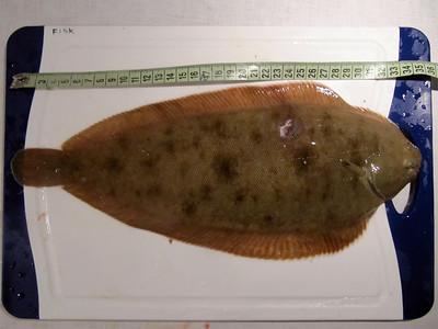 Tunge 35 cm, 400 g. August 2011 (UV).