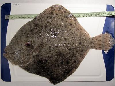 Pighvar 35 cm, 800 g. August 2011 (UV).
