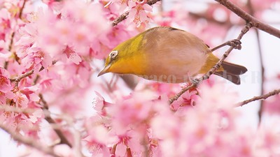 Spring has come ♪  /  A bird sitting on a tree is...