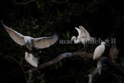 White Egrets @ Himeji Castle Moat