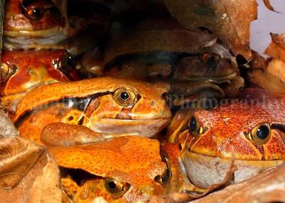 Madagascar Tomato Frogs (Dyscophus guineti)