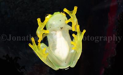 Glass frog (Hyalinobatrachium fleischmanni)