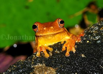 Yellow Cricket Frog (Dendrosophus microcephalus)
