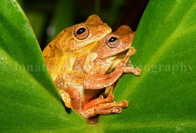 Mahogany Tree Frog Hugs (Tlalocohyla loquax)