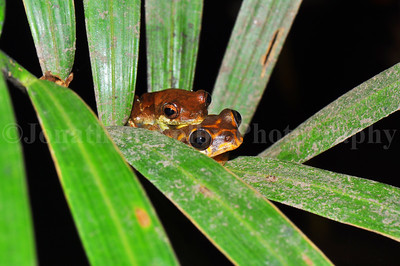 Congo Reed Frogs