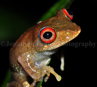 Bright-eyed frog (Boophis boehmei) found in Andasibe, Madagascar