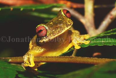 Mossy Red-eyed Frog (Duellmanohyla soralia)
